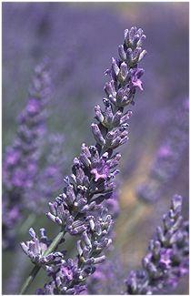 English lavender in full bloom http://gorgetopgardens.com/perennials/lavender.html