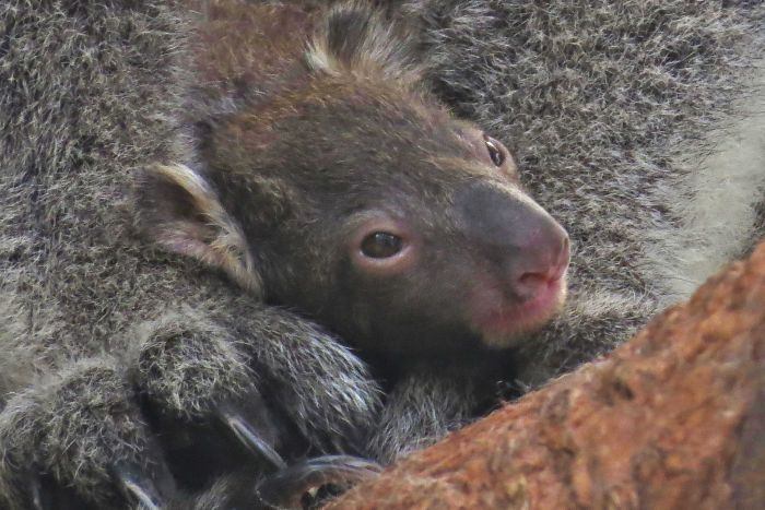 Baby Tucker is the first koala to be born in the ACT since the 2003 Canberra bushfires. (Pic: Supplied/John Bundock)
