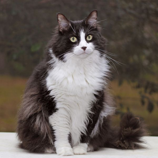 Catbreeds Gorgeous Cats Pretty Cats Long Haired Cats