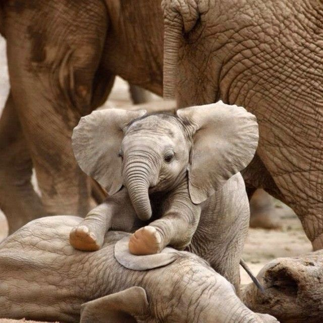 "Earth Pics 🌍🌍🌏 on Instagram: ""Baby elephant massaging his brother"" instagram.com"