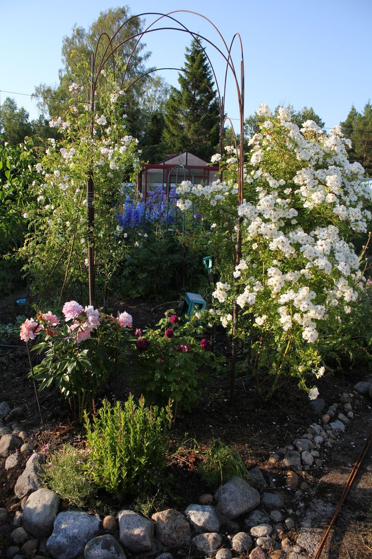 "In Swedish zone 5. Homemade rosepillar of builders iron (Armeringsjärn) Rose Rosa Helenae ""Hybrida"" to the right, Rosa whicuriana""Polstjärnan"" to the left Paeonia lactiflora Sarah Bernhard"