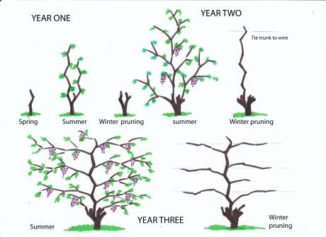 How to Prune Grapes  Winter pruning from infancy to fourth year