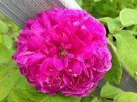 Rosa centifolia-muscosa  `Vaarala´Mossros