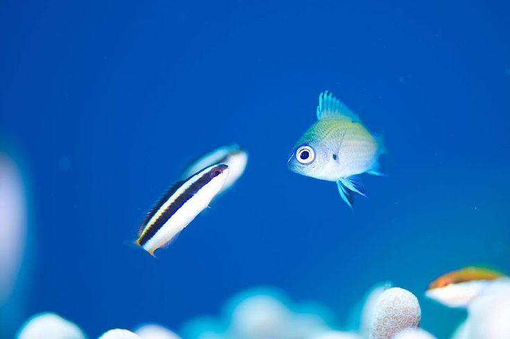 ああアムロ 時が見える #水中マクロ #水中写真 #水中撮影 #水中カメラ #石垣島#石垣島ダイビング #石垣島ダイビングショップ #沖縄#沖縄ダイビング #魚#魚類#アマミスズメダイ#スズメダイ #UnderwaterMacroPhotography  #UnderwaterPhotography #nikond7200 by sensuido