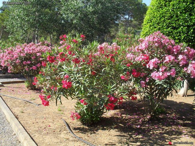 Les 122 meilleures images propos de jardin sur pinterest jardins vivre dehors et interieur - Quand tailler le laurier rose ...