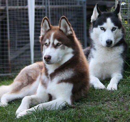 1000 ideas about husky wolf mix on pinterest siberian