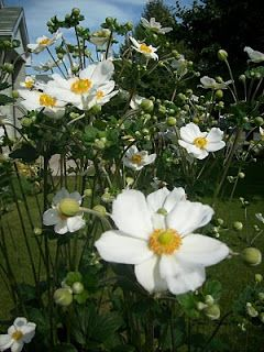Le Jardin sous le Tilleul: Anémone Honorine Jobert