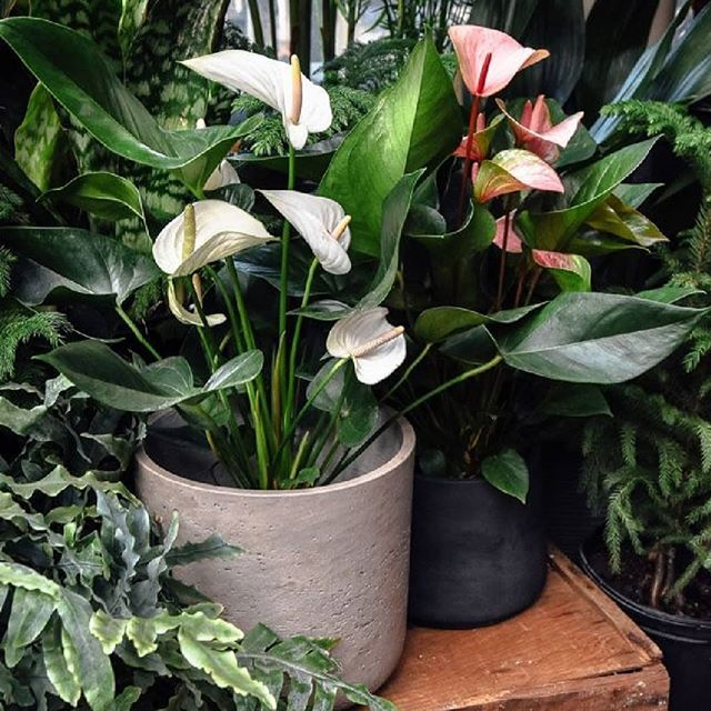 Plant Inspiration Day Plants Make Your Shop Front And Home Feel Alive Creating Tranquil And Inviting Surroun Anthurium Care Anthurium Plant Anthurium Flower