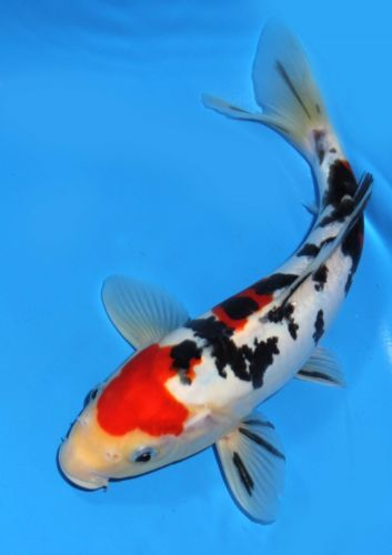 Live koi fish 9 10 doitsu scaleless tancho sanke red for Coy poisson