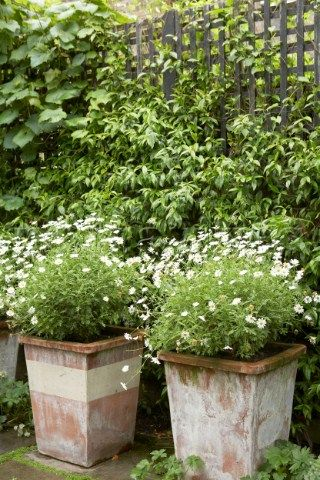 Two terracotta garden pots planted with daisies