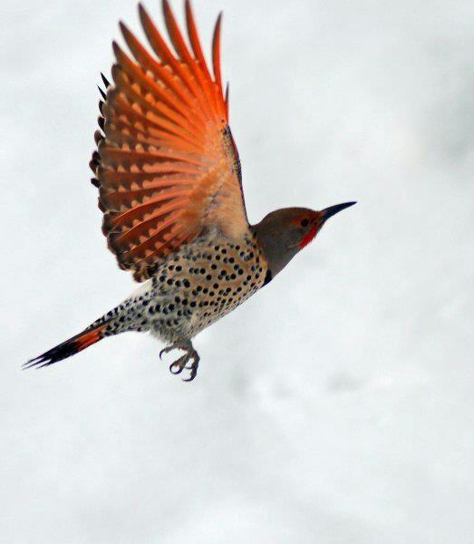 74 Best Flicker Birds Images On Pinterest Northern