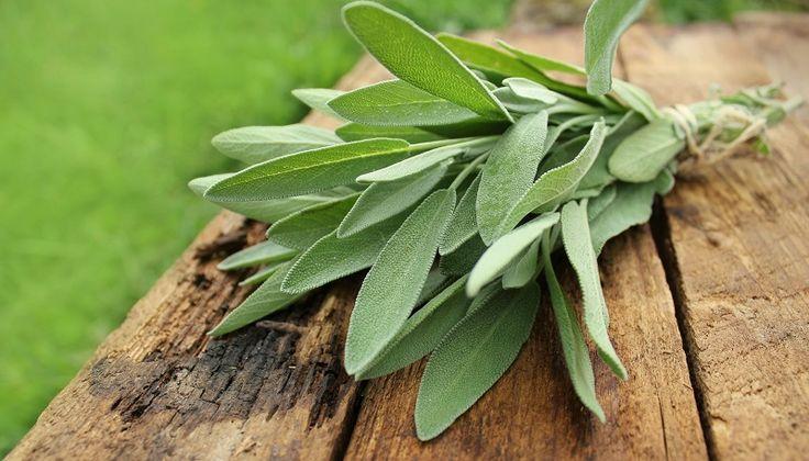 Szałwia – roślina lecznicza i afrodyzjak?