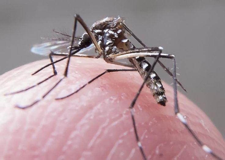 Transmitidas pelo mosquito Aedes aegypti, doenças causam sintomas e complicações diferentes