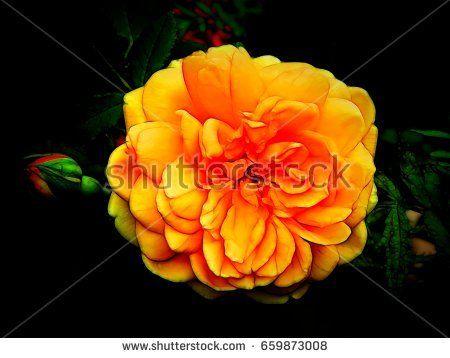 Illustration of a garden rose on a black background