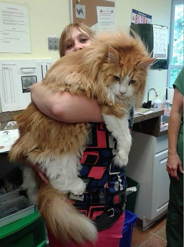 big fluffy and definitely adorable maine coon cat 10 pictures 9