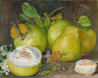 Pomelos by Marianne North.