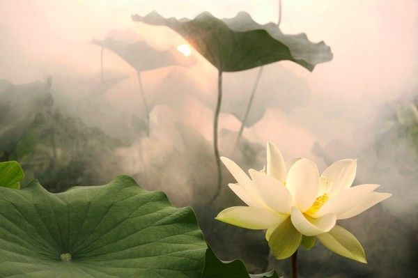 Beautiful lotus.