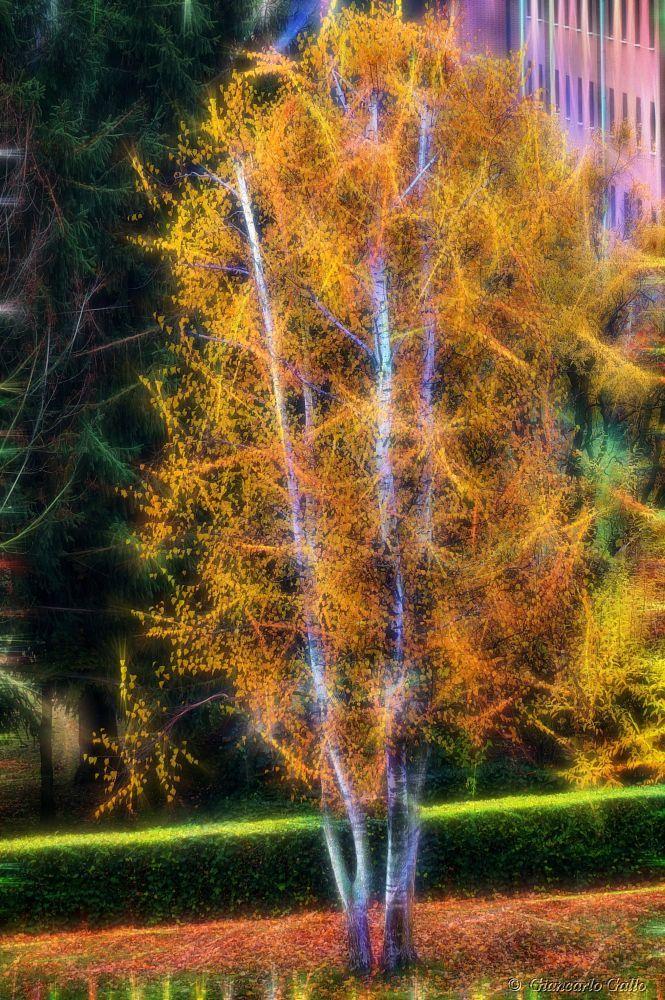 Birch trees by Giancarlo Gallo