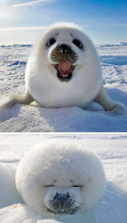 Weiße flauschige #Robbe. #Schnee #Tiere ♥ stylefruits Inspiration ♥