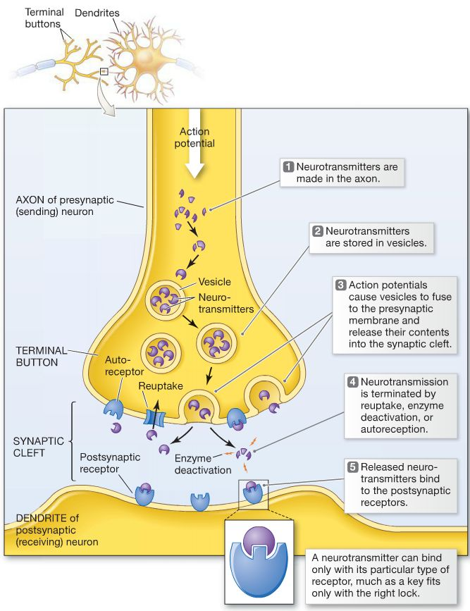 the effect of neurotransmission on human Identify common neurotransmitters and their effect in the  human body and increase understanding  understand what occurs in the process of neurotransmission.
