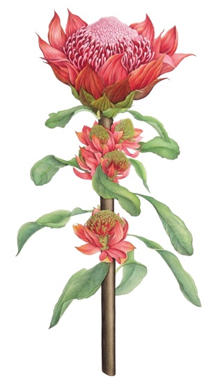 Protea flower.... Botanical painting by Angie Gray http://angiegraymadeira.com/?paged=2&tag=botanical-art