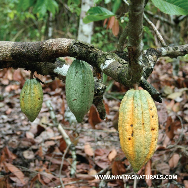Navitas Naturals Cacao grows In warm and humid climates of Peru, often along riverbanks. The tropical cacao tree bears large football-shaped fruits called pods that are filled with sweet white pulp and beans.