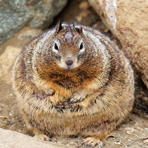 """""""Sharon? Sorry to bother you. I was just updating my profile information on all my dating websites and I need your help. Am I 'curvy,' 'voluptuous,' 'full figured,' or 'big & beautiful?'"""": Eating Habits, Fat Squirrels, Birds Feeders, Funny Animal Pictures, Weights Watchers, Holidayseason Stuff, Squirrels Stuffed, Funny Squirrels, Thanksgiving Funny"""