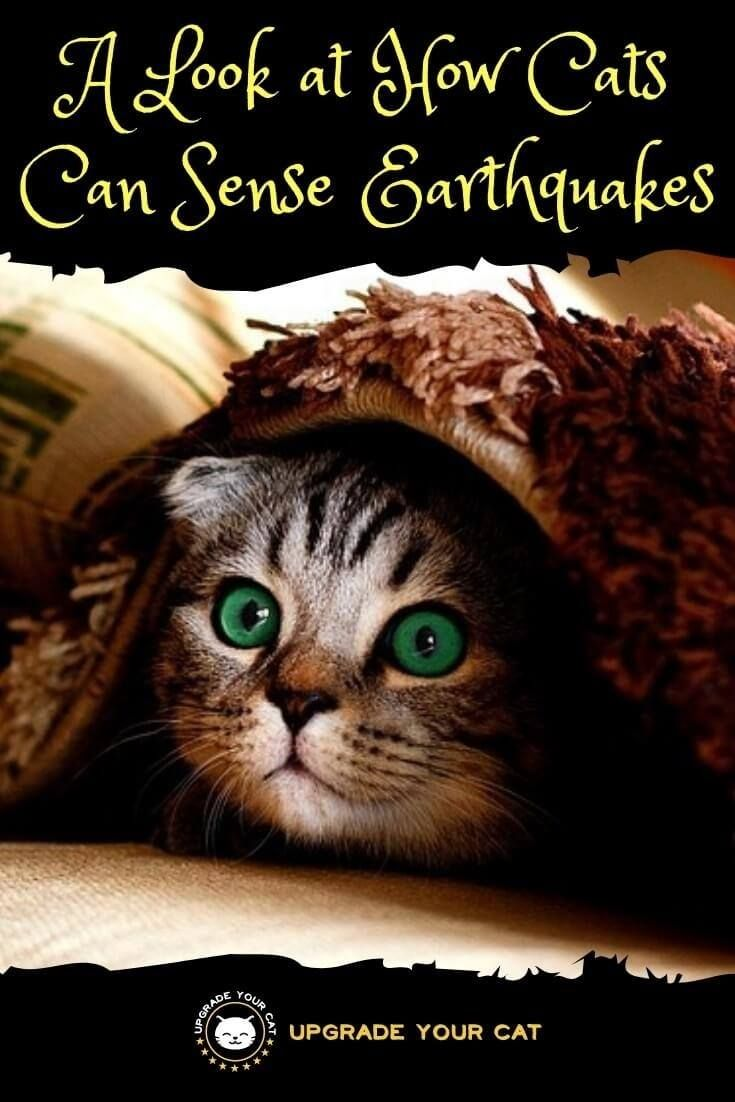 Can Cats Sense Earthquakes Yes And Here S What To Look For Upgrade Your Cat Cat Behavior Cats Senses