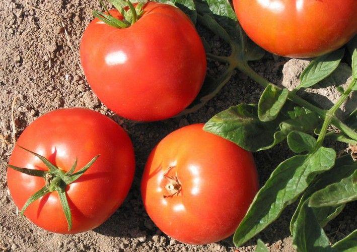 44 best top picks for the best tasting tomato varieties