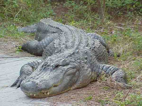 Komodo Dragon vs Alligator | great suggestion from many readers, this fight pits two of the ...