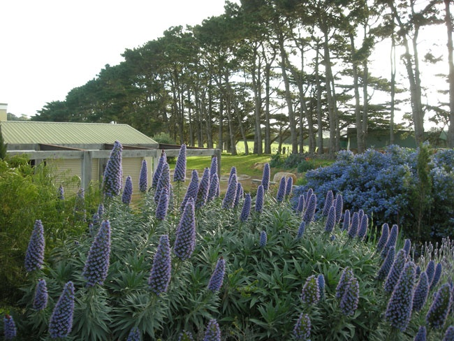 One of my very favourite plants - Echiums. Bees love them. Garden design by Julian Ronchi. Flinders, VIC