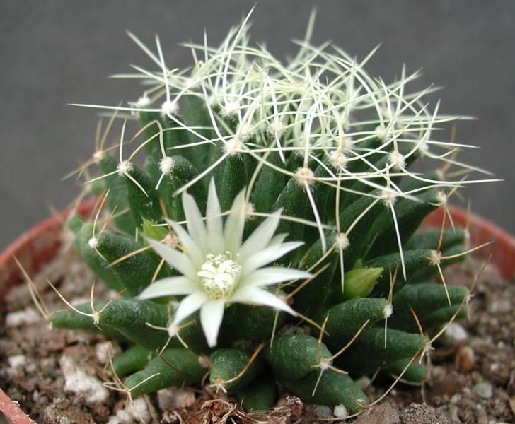 15 best leuchtenbergia images on pinterest cactus plants for Variedades de cactus