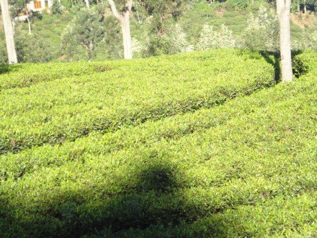 Tea Estate near hatton