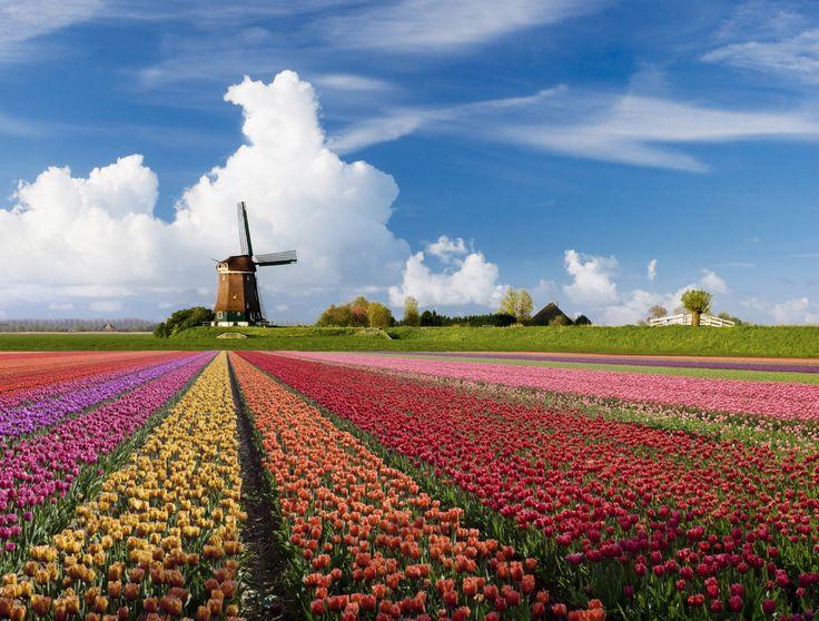 Tulpen en Windmolen, Nederland