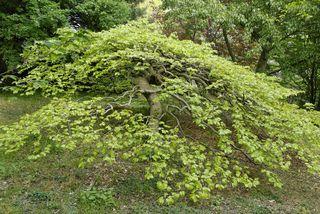 Fagus sylvatica 'Tortuosa' - Hêtre tortillard - 3 à 8 m de haut environ