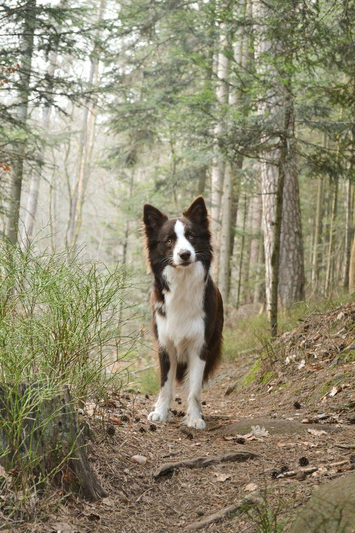 Jumper, Border collie #bordecollie ##cute #pet #animal #