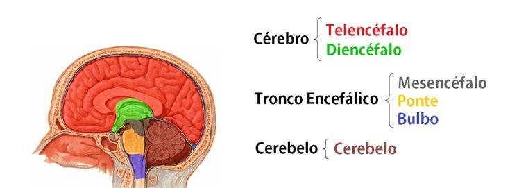 O Sistema Nervoso Central é constituído pelo Telencéfalo, Diencéfalo, Mesencéfalo, Ponte, Bulbo, Cerebelo e Medula Espinhal. Apenas esta não está no crânio.