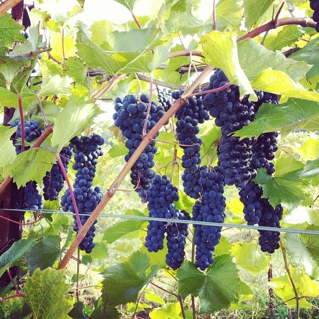 17 Best Images About Our Grapes On Pinterest