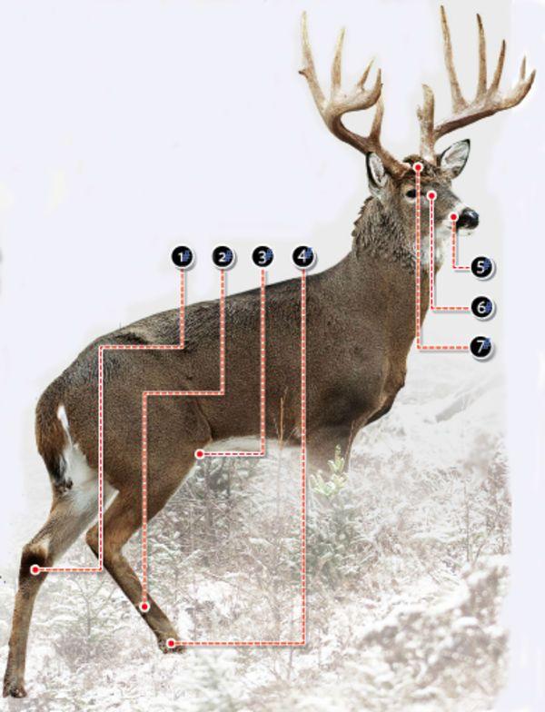 Field Dressing A Deer Diagram Diagram Of Deer Lymph Nodes