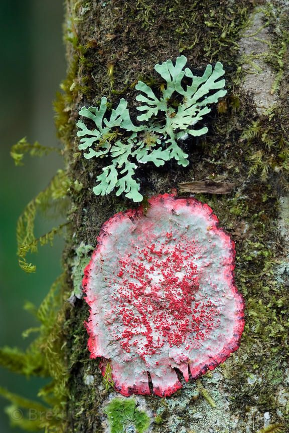 Unusual red lichen on a rainforest tree, Cerro de la Muerte, Costa Rica ~ © Brett Cole