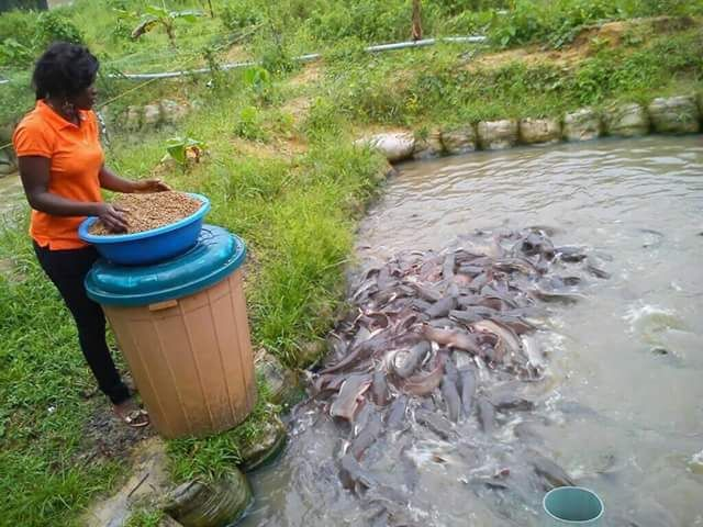 Feeding of fish during culture aims at producing fish feed