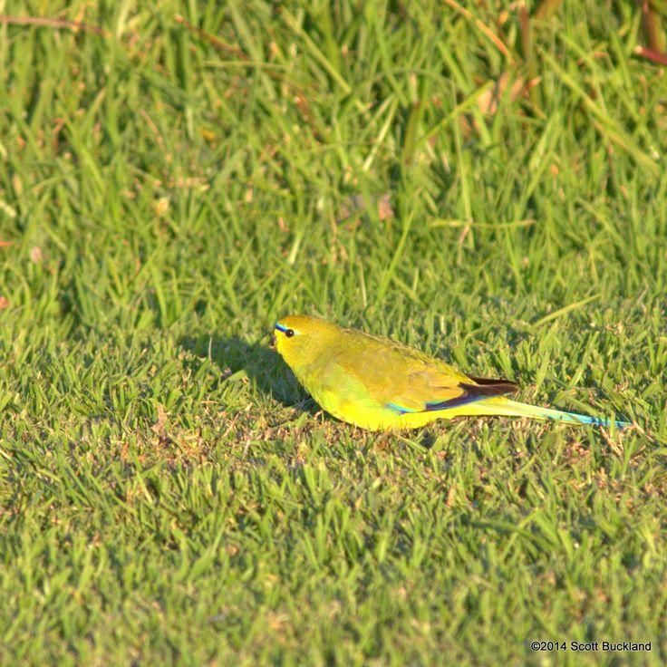 Elegant Parrot (male) - Denmark, Western Australia - ©2014 Scott Buckland