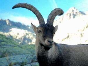 The Pyrenean Ibex has one of the more interesting stories among extinct animals, since it was the first species to ever be brought back by Rose of Sharon