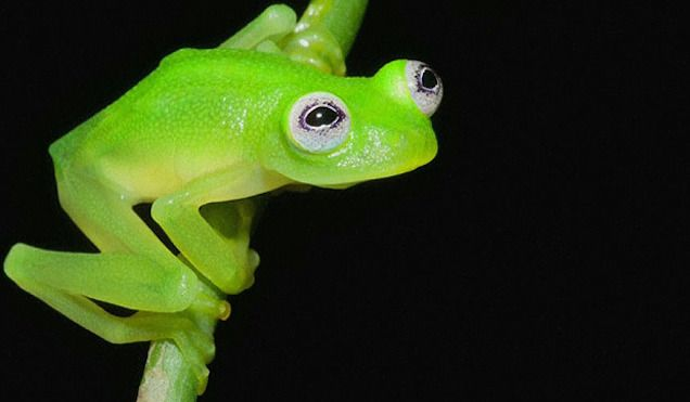 We've found Kermit the Frog in real life and it's a species of glassfrog just recently discovered called Hyalinobatrachium dianae in Costa Rica. It's bright green just like Kermit, has big white adorable eyeballs just like Kermit and the males have a very unique mating call... just like Kermit, I guess? Anyway, the resemblance is uncanny.