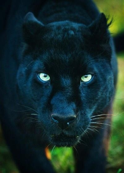 Panther, would not want to see this beautiful predator anywhere near me EVER, zoo excepted