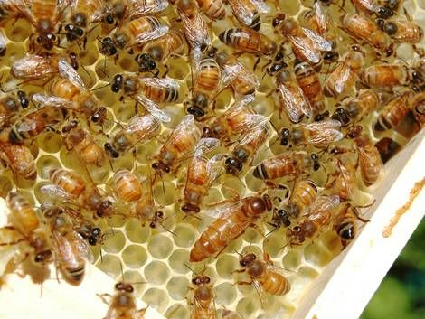 Bienenvolk mit Königin