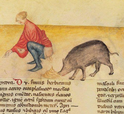 Le cochon, animal de mauvaise réputation (miniature médiévale)