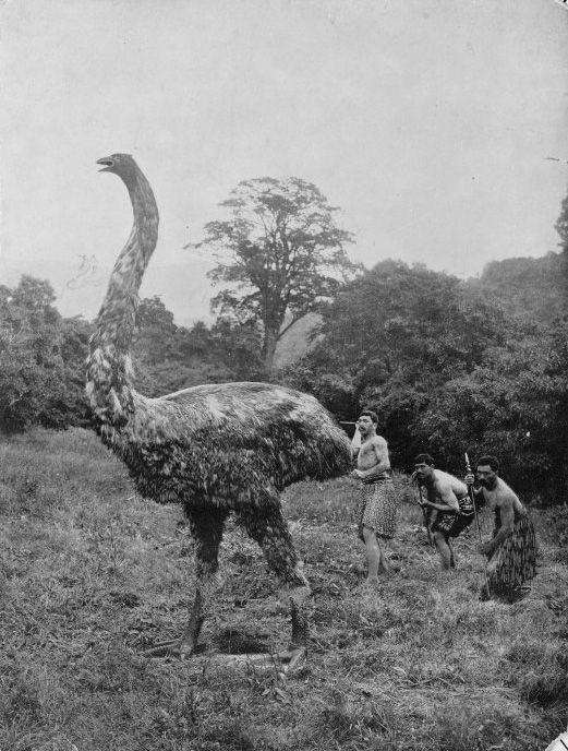 The moa were eleven species of flightless birds endemic to New Zealand ranging in size from about the height of a chicken, to the largest species which was twelve feet tall.