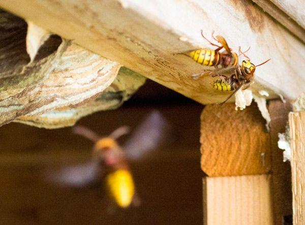 Hornets Nest Control Bath   Bath Hornet Control. 17 best ideas about Frelon Europ en on Pinterest   Frelon
