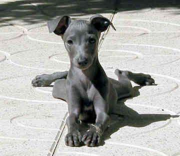 "Miniature Italian Greyhound ~ ""Italian Greyhound Dog Breed, Essentially a slender miniature greyhound, the Italian greyhound is exceptionally elegant and graceful."""